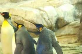 दो मेल पेंगुइन ने पेरेंट्स बनने के लिए गोद लिया अंडा, Video वायरल