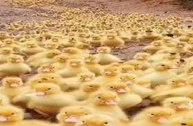 5 हजार बत्तख के बच्चों ने नदी के बीच बनाया अपना रास्ता, देखिए वीडियो