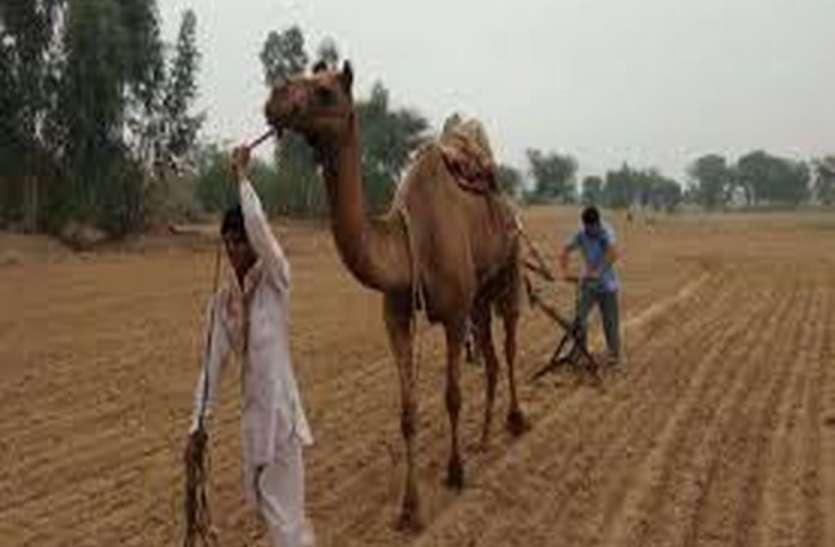 बीकानेर :देश में मोठ और ग्वार उत्पादन में अग्रणी राजस्थान, फिर भी किसान को लागत की गारंटी तक नहीं