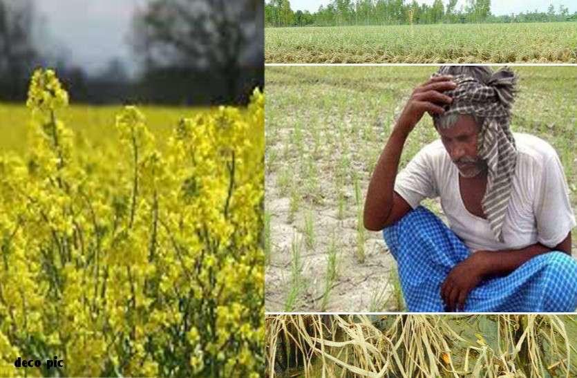 राजस्थान में भारी बारिश : किसानों के लिए बनी मुसीबत, दलहन व तिलहन पर आफत