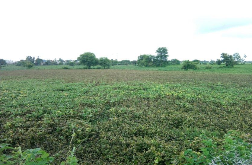 उड़द की फसल पर संकट, लगातार बारिश से काली पड़ रही है फसल