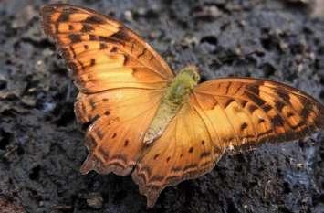 बस्तर में मिली ऐसी तितली, जो बस्तर से हिमालय के रिश्ते को दर्शाती है, जानिए इस तितली की खासियत