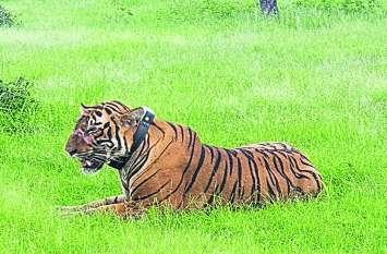 उस्ताद की राह पर तो नहीं टी-104, चार बार टे्रकुंलाइज हो चुका है बाघ