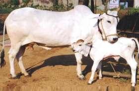 गाय के अंदर होता है 33 करोड़ देवी-देवताओं का निवास, घर में आते ही चमक जाती है किस्मत