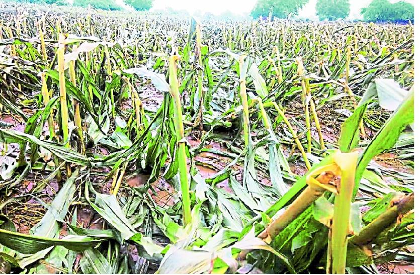 किसानों के लिए जरूरी खबर: फसल खराबे की सूचना 72 घंटे में बीमा कम्पनियों को देना जरूरी, टोल फ्री नंबर जारी