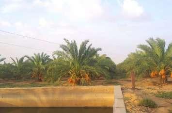 Watch Video:रेत के धोरों में उग रही विलायती खजूर