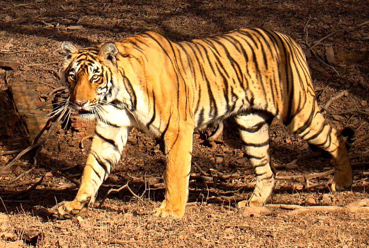 sariska tiger problam  बाघों पर मंडरा रहे हैं खनन धमाकों से उठे खतरे के बादल