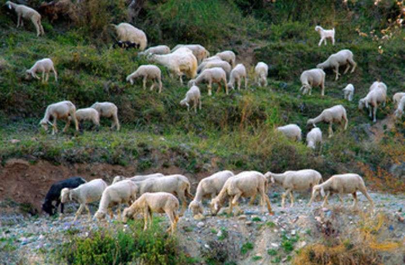 अजीब सौदा, पत्नी के बदले ले लीं 71 भेड़ें