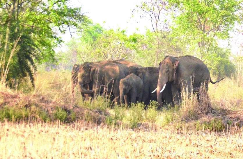 दल में बंटकर 20 हाथियों ने रौंदा खेत, ग्रामीणों में दहशत