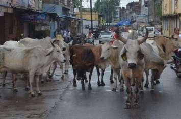 अलवर की सड़क पर गायो का कब्ज़ा दे रहा दुर्घटना को निमंत्रण,देखे तस्वीरें