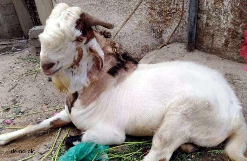 bakra chori ; बकरा चुराया 'मयाराम' ने, पुलिस ने 'सीताराम' को भेज दिया जेल