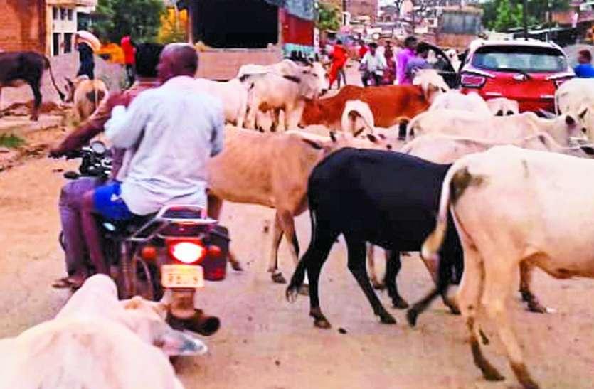 आवारा पशुओं का सड़क पर डेरा, दुर्घटनाओं में लोग हो रहे हताहत
