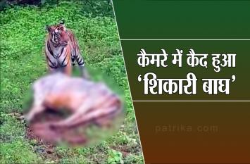 कैमरे में कैद हुआ 'शिकारी बाघ', गाय का किया शिकार, हिम्मतवाला राहगीर बनाया वीडियो