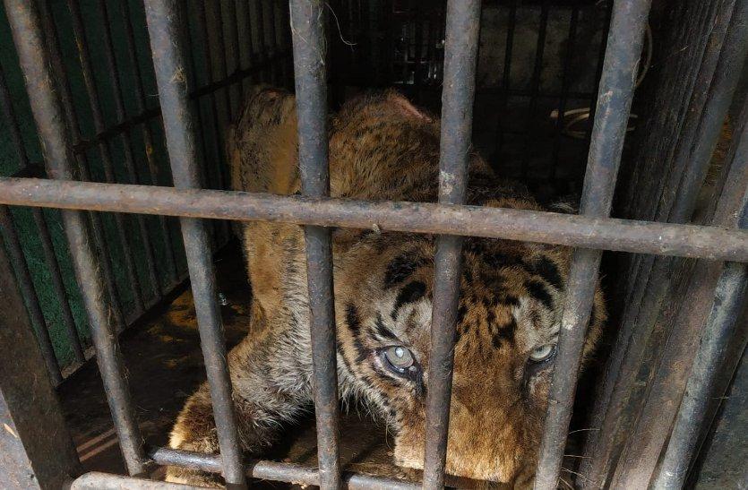 मैत्रीबाग जू का टाइगर सतपुड़ा हुआ खामोश