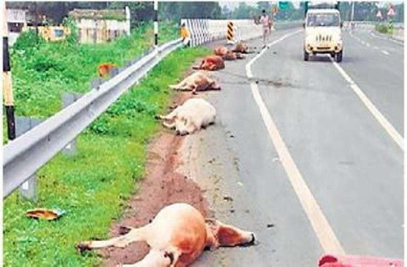 हादसा: अज्ञात ट्रक ने 9 गायों को कुचला, पिछले 5 दिनों में 20 मवेशियों की मौत, भड़का गुस्सा