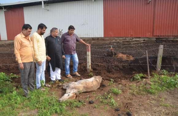 गौशाला में गायों की मौत के मामले में घिरा नगर निगम, सभापति ने उठाए सवाल