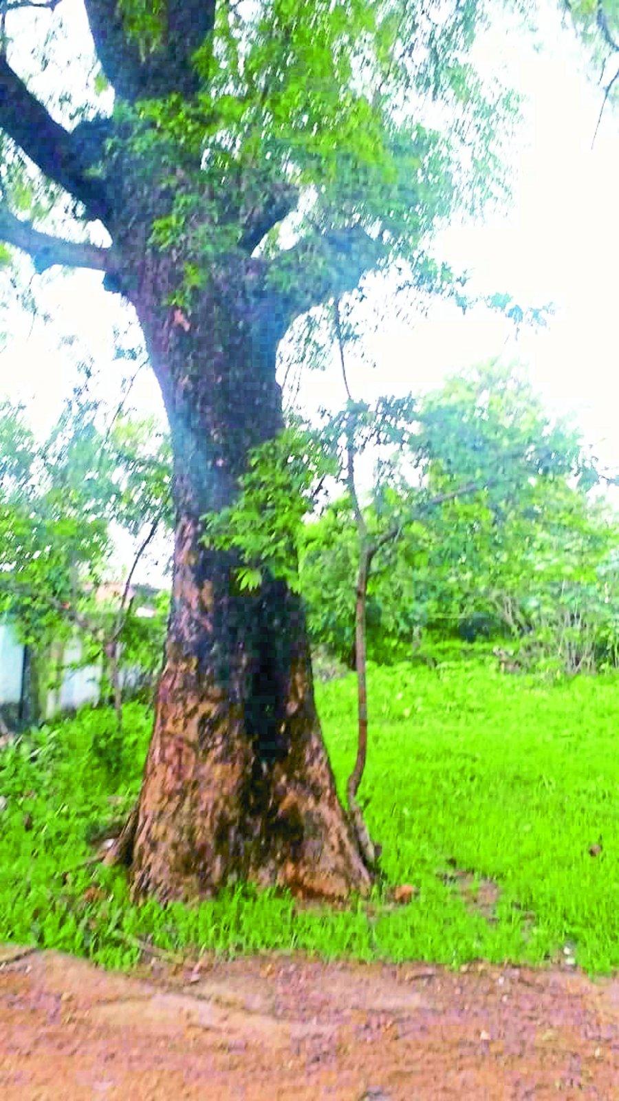 व्यंगकार की याद दिलाता है यह नीम का पेड़