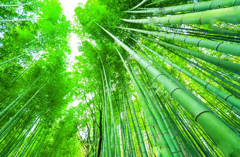 Bamboo : 15 वर्षों में प्रदेश के इन वन मंडलों में पूरी तरह से समाप्त हो गए बांस