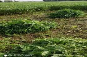 बांझपन-अफलन का हल नहीं, इसलिए हरी सोयाबीन ही काट रहे किसान