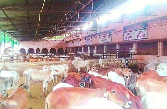 गोशाला में चारे का संकट - गायों के भरण-पोषण का निगम पर 19 रुपए लाख बकाया