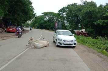 जेतपुर में रोड पर बैठ जाते है आवारा मवेशी