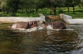 रानी को देख खिल उठा राजा, स्वीमिंग पूल में दोनों ने लगाया गोता, की अटखेलियां, देखें वीडियो