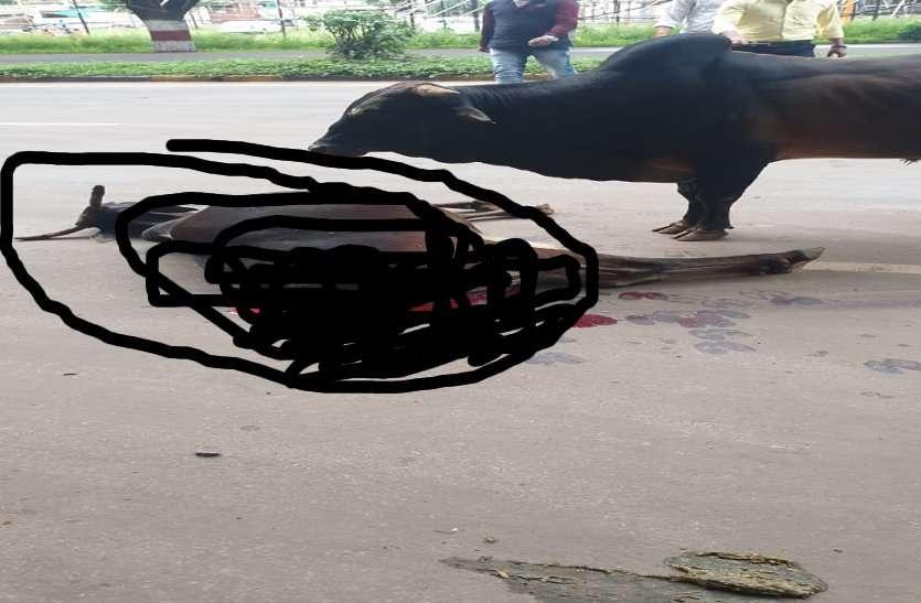 कार की ठोकर से गाय की मौत, बछड़ा ने  पुलिस को उठाने नहीं दिया शव