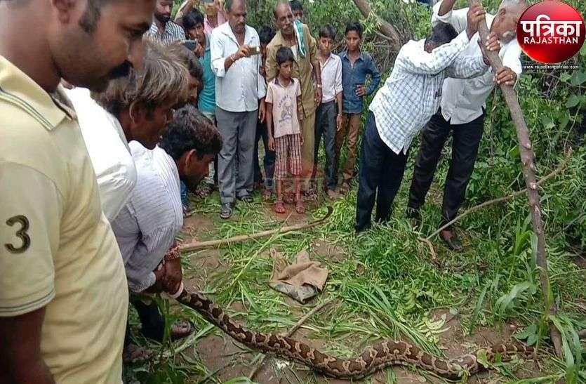 खेत में आया नौ फीट का अजगर, मची अफरा-तफरी, वन विभाग की टीम ने रेस्क्यू कर पकड़ा