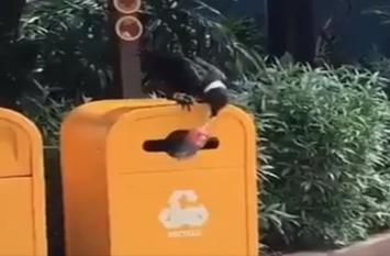 कचरा साफ करते दिखा कौआ, दिल छू लेगा ये खूबसूरत वीडियो