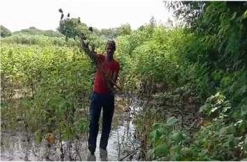 बम्पर फसल पर फिरा बरसात का पानी, किसानों की सुनवाई नहीं