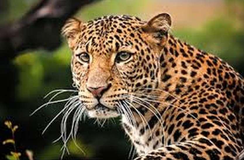 पानसेमल में फिर तेंदुए का आतंक, महिला का किया शिकार, हुई मौत