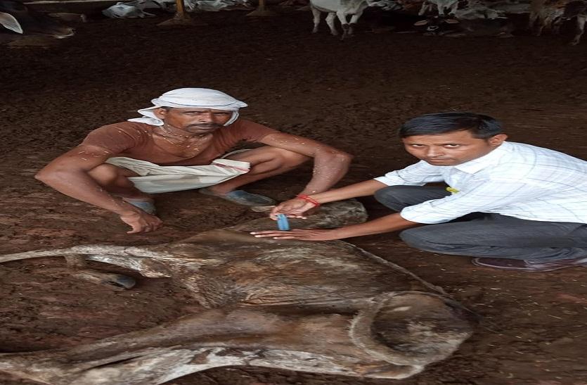 गौशाला में डेढ दर्जन गायों की मौत, गुपचुप कर रहे दफन