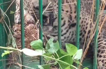 पिंजड़े में कैद हुआ आदमखोर तेंदुआ, वन विभाग ने ली राहत की सांस