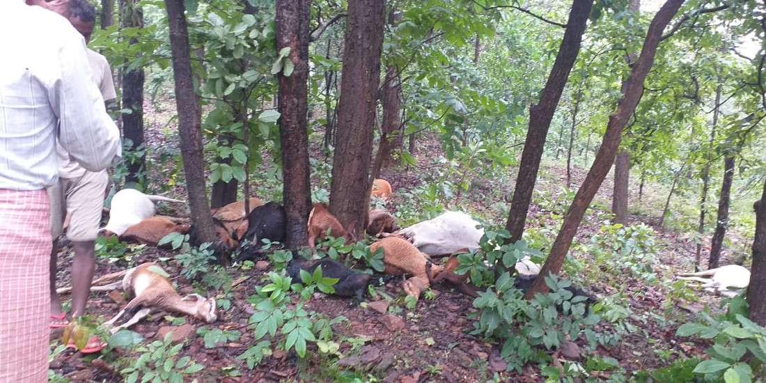 गाज गिरने से 26 मवेशियों की मौत, जंगल में यहां वहां बिखरीं लाश देख सिर पकड़कर बैठ गए मवेशी मालिक