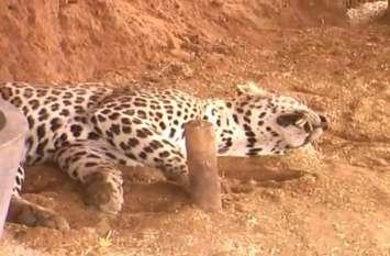 Man animal conflict:  अस्तित्व का संघर्ष