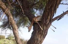 शिकार के बाद हिरण को पेड़ पर लटका कर भाग छूटे शिकारी