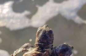 सामने आई एक ऐसे कछुए की तस्वीर, जिसके हैं दो सिर