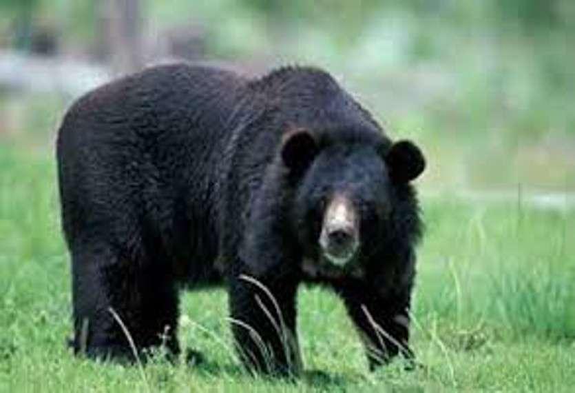 Breaking News: शौच करने गई भाभी को भालू ने मार डाला, 2 घंटे बाद देवर को भी कर दिया लहूलुहान, छिपा था मक्के की खेत में