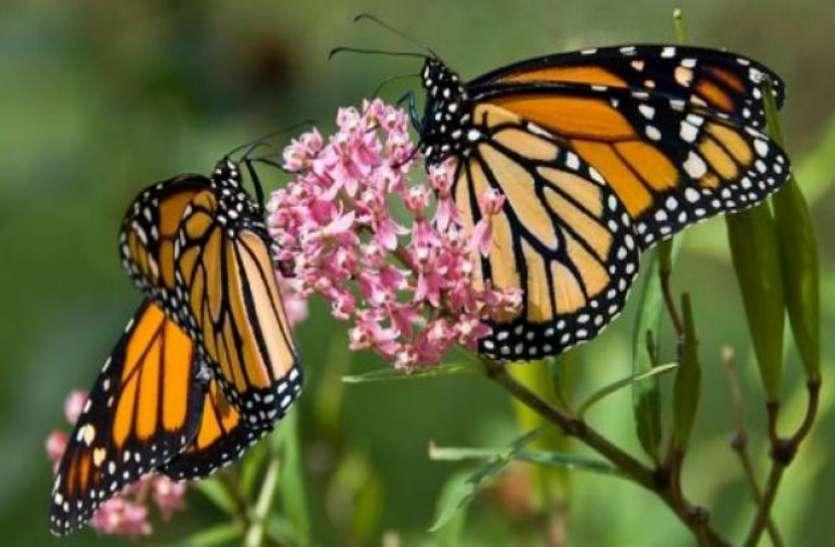 भारत में सिर्फ तस्वीरों में रह जाएंगी तितलियों की 1500 प्रजातियां, चौंकाने वाली रिपोर्ट आई सामने