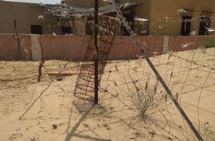 बीकानेर : सीमा क्षेत्र से फिर आया टिड्डी दल, नियंत्रण दल बेखबर