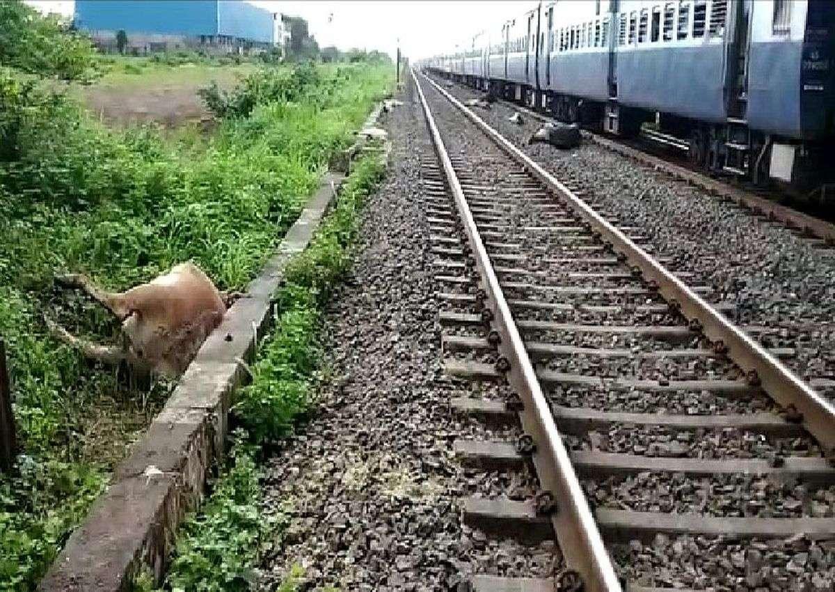 INDIAN RAIL: रेलवे ने अभी तक नहीं उठाए मवेशियों के शव