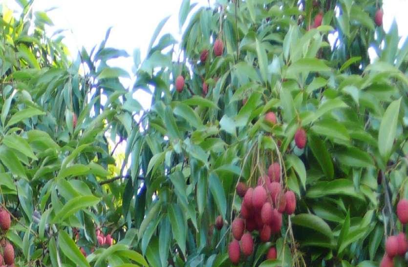 मुफ्त में बदनाम हो गई मुज्जफरपुर की स्वादिष्ट लीची