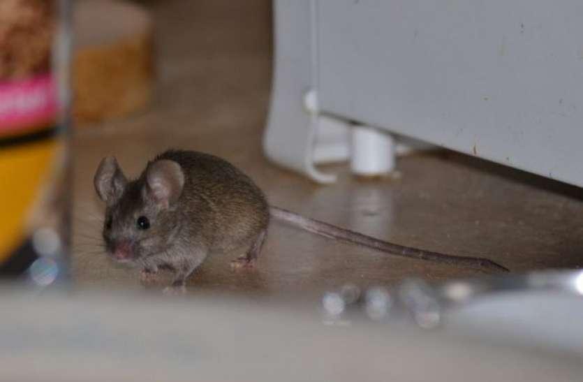 यदि घर में अचानक बढ़ जाए चूहों की संख्या तो समझ लें होने वाला है कुछ...