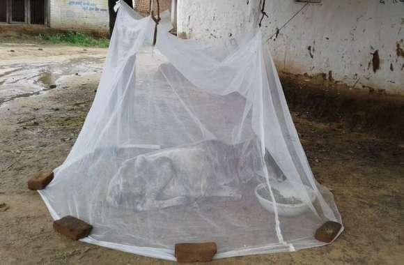 Amazing : मध्यप्रदेश की एक तहसील ऐसी जहां सरकारी मच्छरदानियों का अजब-गजब उपयोग