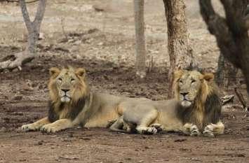 जूनागढ़ से शेरों को लेने रवाना हुई सफारी पार्क के अधिकारियों की टीम