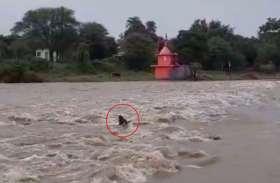 उफनती नदी में फंसा एक बैल, देखिए वीडियो- खुद को कैसे पहुंचाया किनारे