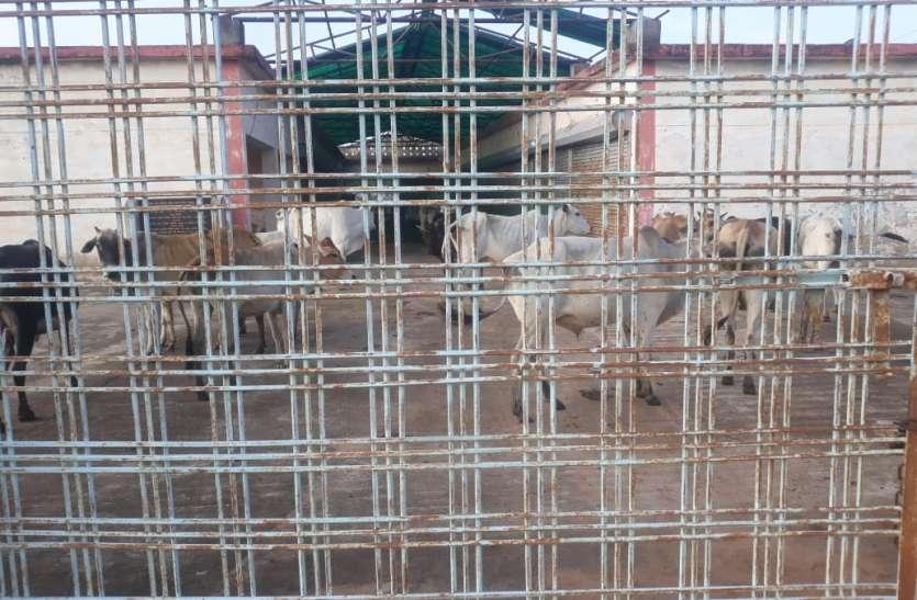 अवैध पशु तस्करी की योजना में 23 नग मवेशी जब्त