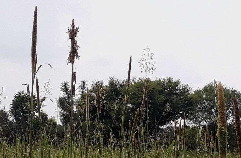 राजस्थान में यहां टिड्डी दल का अटैक, खेत में खड़ी बाजरे की फसल चौपट, किसान चिंतित