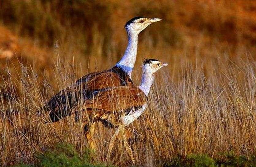 ...तो कौनसा पक्षी बनेगा राजस्थान का राज्य पक्षी