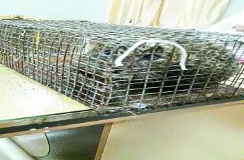 डिब्बे में पकड़कर ले जा रहे थे तेंदुए के जिंदा शावक, पुलिस को मिली जानकारी तो एेसे दबोचा